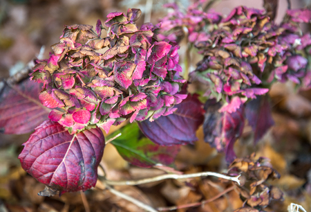 The Hydrangea's fading beauty and colors in late fall, in an English garden (before) the winter arrives to claim it's curling leaves for another year. 版權商用圖片