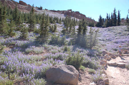 lupines: Wild lupines carpet a mountainside
