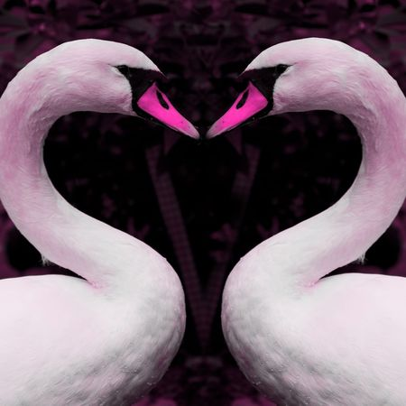 Pink tinted swans forming heart shape for use on valentines card photo
