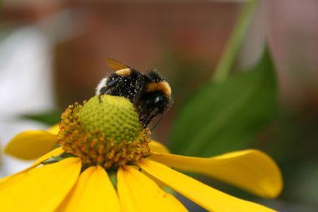 Bumble bee collecting nectar in garden photo