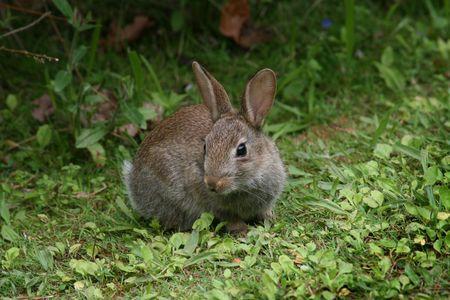 Brown rabbit in woods