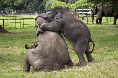 Baby Asian Elephants Playing 写真素材
