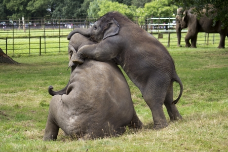Baby Asian Elephants Playing Reklamní fotografie