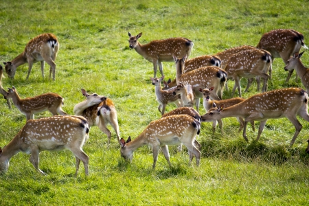 deer hunting: Axis deer or chital most common in Bangladesh, India and Sri Lanka  Known for their reddish brown coat and white spots, and prefer to live in woodland or grassland