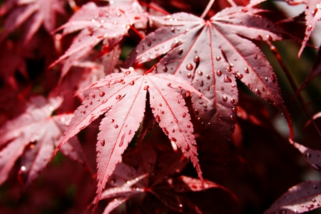 acer palmatum: Red maple leaf