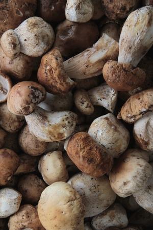 porcini: wild porcini mushrooms