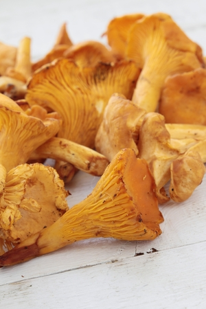 chanterelle: wild chanterelle mushrooms