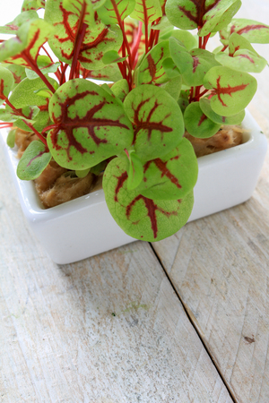 micro herb sorrel