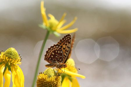 settles: A fritillary butterfly settles to feed on a mules ear sunflower with sun sparkles cast by a Rocky Mountain creek in Colorado in the background.