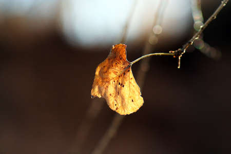 A diehard cottonwood leaf stubbornly refuses to fall as autumn wanes.