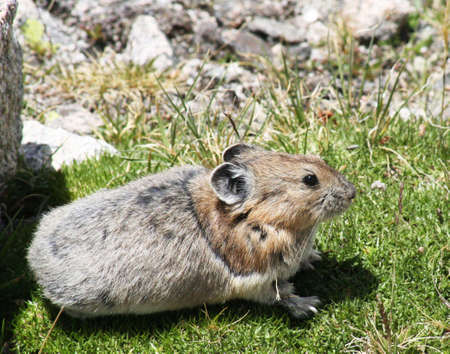lagomorpha: A Rocky Mountain collared pika seeks out a sunny patch of grass in the middle of an alpine talus field.