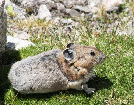 talus: Una monta�a rocosa collared pika busca un remiendo asoleado de la hierba en el centro de un campo alpestre del talud. Foto de archivo
