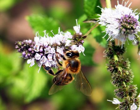 seeks: This honey bee seeks out nectar from a blooming mint flower in southern Arizona