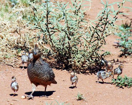 squamata: A mother scaled quail and her eight  pass a globemallow plant as they search for food and water in the vacinity of Hereford, Cochise County, Arizona.