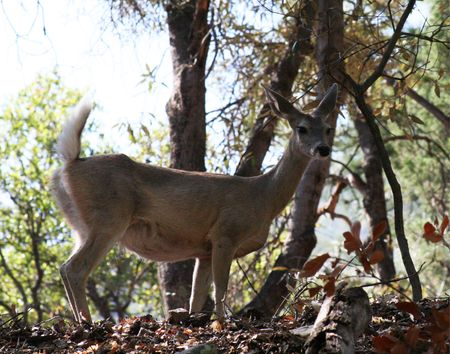 white tail deer: Whitetail deer seen at the Nature Conservancy Mile-Hi sanctuary in Ramsey Canyon of the Huachuca Mountains, Cochise County, southeastern Arizona. Stock Photo