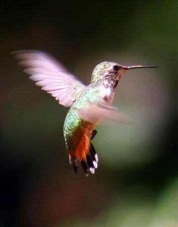 Female Rufous Hummingbird, Nature Conservancy Mile-Hi Sanctuary, Ramsey Canyon, Huachuca Mountains, Cochise County, southern Arizona, American Southwest.