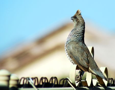 sharply: From atop a fence, this scaled quail calls out sharply in order to locate the rest of his family. Stock Photo