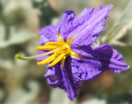 solanaceae: Silverleaf Nightshade, White Horse Nettle, Silver Horse Nettle, Bull Nettle, Desert Nightshade, Trompillo