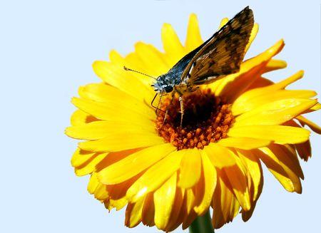 skipper: A Skipper Butterfly on a Marigold