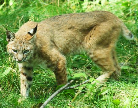 lynx: Bobcat, znany także jako Wildcat lub Bay Lynx.