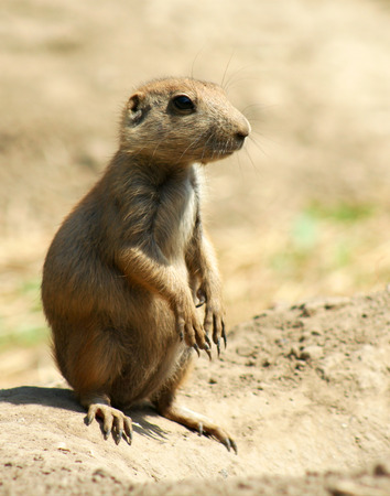 erect: This Blacktail Prairie Dog is sitting erect on top of his mound, ready to sound the alert bark and warn his