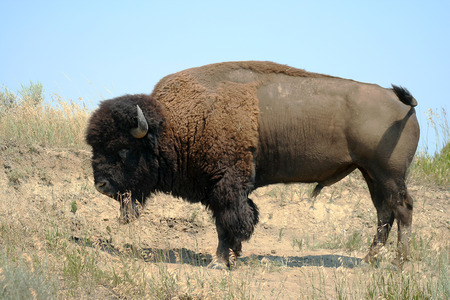 buffalo grass: This Bison was seen at Theodore Roosevelt National Park, North Dakota.