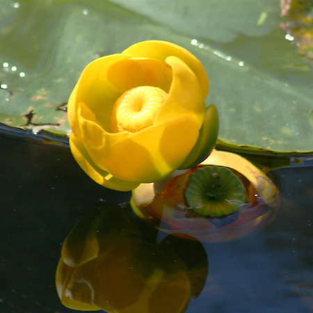 lilypad: A Yellow Pondlily casts its reflection in the still waters of a quiet pond