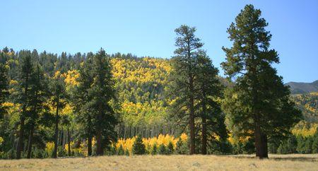 ponderosa: Aspen and ponderosa pine in the San Francisco Peaks, northern Arizona Stock Photo