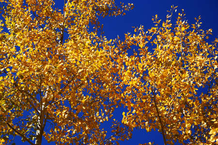 quaking aspen: A canopy of blue sky and golden quaking aspen leaves