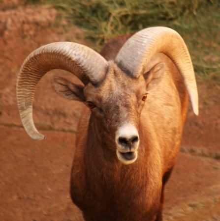 canadensis: A bighorn sheep, Ovis canadensis, of Western North America, the male with massive horns. Stock Photo