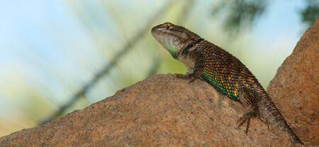 sonoran: Sonoran Spiny Lizard, Sceloporus magister, found in the sonoran desert regions of Arizona and Mexico. Stock Photo