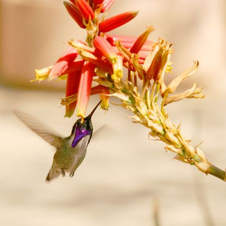 outdoor photo: Costas Hummingbird, Calypte costae, common in Southwest deserts and known for its violet cap and throat