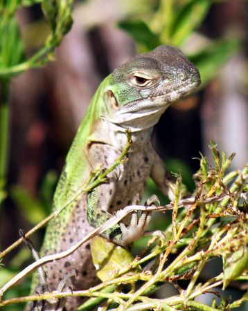 endemic: Juvenile Spiny-Tailed Iguana, a Baja California Endemic