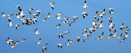 A Flock of Snow Geese On The Wing Stock Photo - 2438126