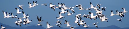 A Flock of Snow Geese Over the Mountains Stock Photo - 2450365