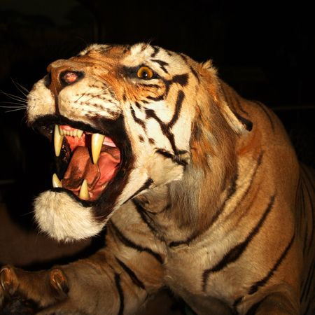 carnivora: A Snarling Tiger, Panthera tigris, against the darkness of night