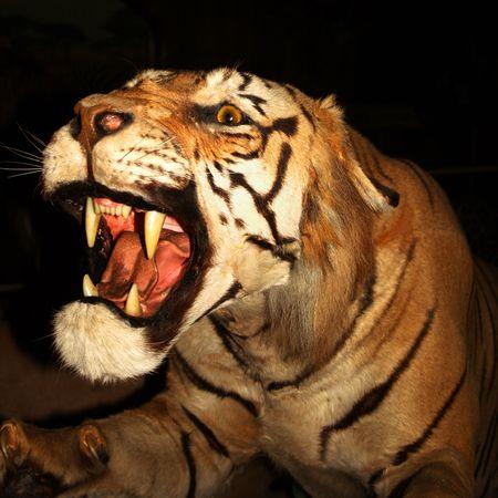 panthera: Un Snarling Tiger, Panthera Tigris, contro il buio della notte Archivio Fotografico