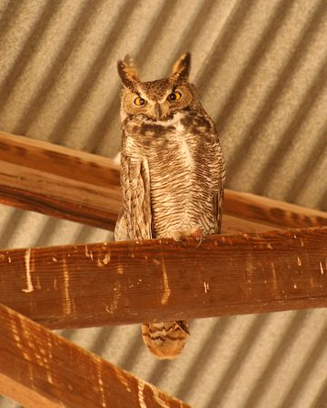 strigiformes: A Great Horned Owl Roosts in the Rafters of a Barn Stock Photo
