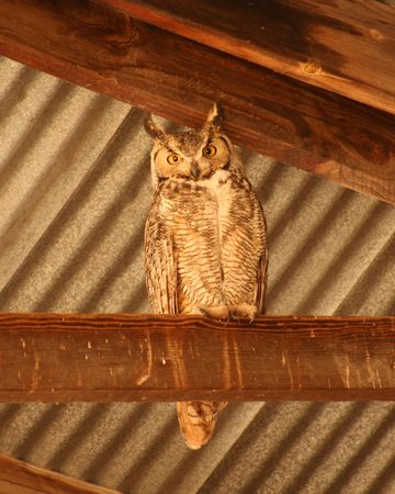 rafters: A Great Horned Owl Roosts in the Rafters of a Barn Stock Photo