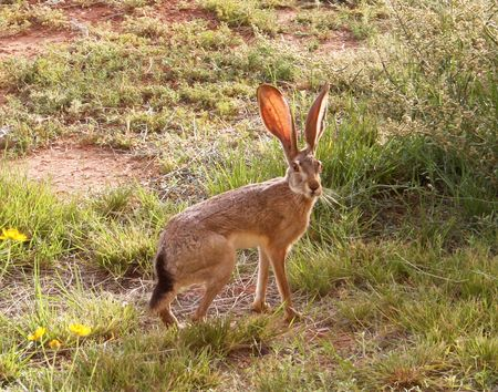 Blacktail Jackrabbit, Lepus californicus 版權商用圖片