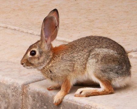 leporidae: A Desert Cottontail Rabbit, Sylvilagus auduboni, Sitting on a Concrete Patio