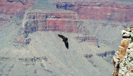 A California Condor, Gymnogyps californianus, One of the Largest and Rarest Birds in North America, Soars Among the Cliffs of the Grand Canyon in Arizona photo