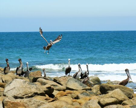 appropriately: Pelicans Gather at Appropriately Named Pelican Point, Sonora, Mexico, Off the Sea of Cortez