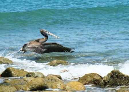 A Pelican on Takeoff, Pelican Point, Sonora, Mexico, Off the Sea of Cortez