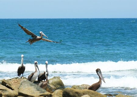 pelecanus: Pelicans Gather at Appropriately Named Pelican Point, Sonora, Mexico, Off the Sea of Cortez