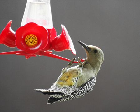A Gila Woodpecker Thinks He's A Hummingbird And Tries To Drink From A Feeder Stock Photo - 3368966