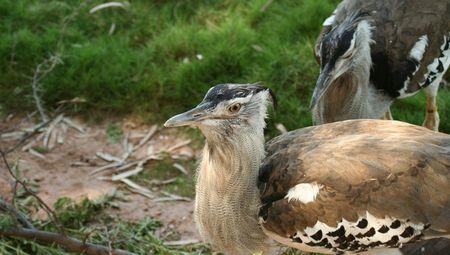 plummage: An African Bustard, Order Gruiformes,  Otididae Stock Photo