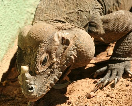 threatened: A Rhinoceros Iguana, Cyclura cornuta, Threatened Lizard Species Found on the Caribbean Island of Hispaniola Stock Photo