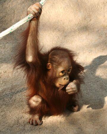 hairy legs: A  Bornean Orangutan, Pongo pygmaeus pygmaeus, Chewing on a Stick Stock Photo