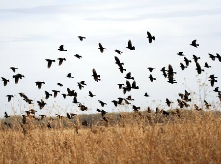 flocking: A Flock of Yellow-Headed Blackbirds Wings Past